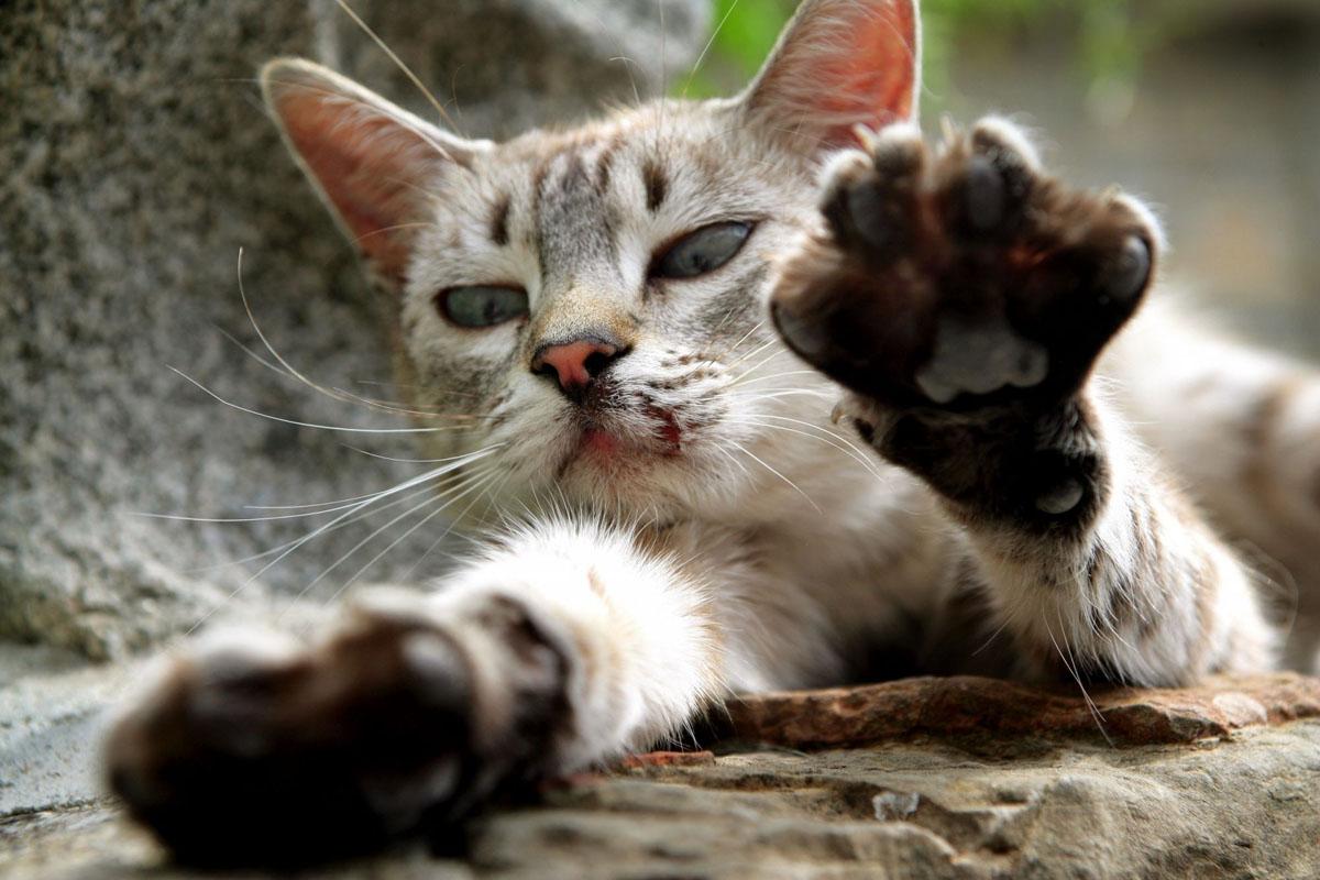 Comment couper les griffes de son chat - Quand peut on couper les griffes d un chaton ...